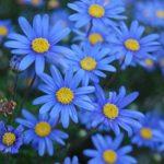 Фелиция — описание цветка с фото, выращивание и уход в открытом грунте или домашних условиях