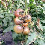 Обработка томатов от фитофторы (в теплице и открытом грунте) народные средства и фунгициды