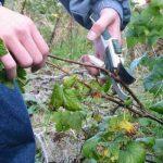 Уход за смородиной после сбора урожая забота о красной, черной и других видах ягоды
