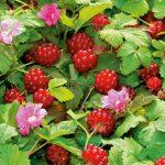 Княженика — фото и описание ягоды, свойства и отзывы о вкусе