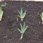 Когда и как посадить ирисы осенью – гид новичку