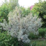 Лох серебристый применение растения в ландшафтном дизайне сада с фото, посадка и уход, описание