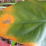 Почему желтеют края и кончики листьев у цветов основные причины заболеваний комнатных растений