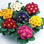 Цветы примула внешний вид и разновидности, особенности выращивания и размножения первоцвета, уход и