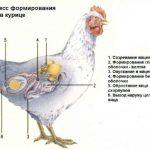 Почему куры несут яйца без скорлупы и что делать в таком случае