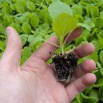 Когда сажать на рассаду белокочанную июньскую капусту подготовка семян и почвы, особенности посадки