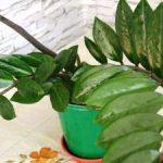 Пересадка замиокулькаса в домашних условиях когда следует пересаживать растение в другой горшок,