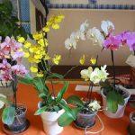 Чем отличается цветок орхидеи от фаленопсиса вид сорта, фото, цвет и уход за растением