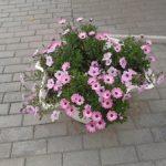 Остеоспермум выращивание из семян и черенков в домашних условиях, фото цветка и особенности ухода