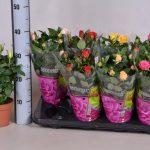 Уход за розами в домашних условиях как ухаживать за мини микс, парад микс и патио микс