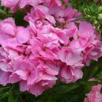 Однолетние флоксы Друммонда сорта и фото, выращивание из семян и сроки посадки, особенности ухода