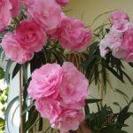 Олеандр описание цветка, виды и фото, советы по уходу и выращиванию в домашних условиях