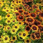Рудбекии уход и характеристики и особенности посадки и выращивания цветка однолетнего и многолетнего