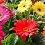 Цветок гербер садовый выращивание из семян в домашних условиях, посадка и уход в саду