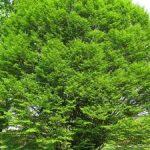 Особенности граба обыкновенного посадка, сфера применения дерева, фото