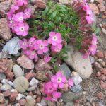 Мыльнянка лунная пыль (сапонария) особенности размножения, ухода и посадки, применение в саду