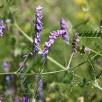 Особенности выращивания люцерны в домашних условиях, полезные свойства растения и фото цветка