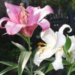 Что собой представляют цветки белой лилии сорта цветов и характеристики, правила выращивания и ухода