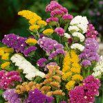 Статица описание разновидностей цветка, выращивание из семян в домашних условиях, особенности ухода