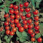 Томаты Черри особенности, перечень сортов с хорошей урожайностью, пригодных для выращивания в