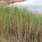 Тростник обыкновенный особенности вида, применение, фото растения