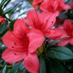 Комнатный цветок азалия описание с фото, выращивание и уход в домашних условиях, размножение