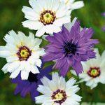 Цветок катананхе размножение делением куста, выращивание из семян и где можно высаживать