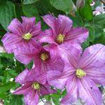 Сорт клематиса крупноцветного Комтесс де Бушо описание цветка, основные характеристики и уход за ним