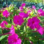 Цветок ночная красавица описание мирабилиса, способы размножения и посадка семян, правила ухода