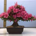 Цветок азалия комнатная фото, виды рододендрона и выращивание белого цветка