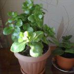 Почему каланхоэ не цветет, а дает лишь только одну листву и что делать