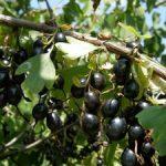 Что такое йошта характеристики этой ягодной культуры, выращивание и уход, фото йошты