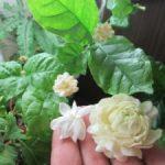 Цветок жасмин фото и описание разновидностей кустарника, особенности выращивания и ухода в домашних
