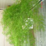 Посадка и уход за аспарагусом в домашних условиях виды, правила выращивания, фото
