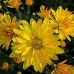 Хризантемы разновидности, формы, значение подарка