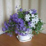 Комнатная кампанула описание цветка — Жених и невеста, особенности ухода в домашних условиях и