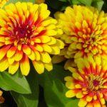 Цветок циния описание сортов, выращивание на клумбе, уход за растением и фото цветов